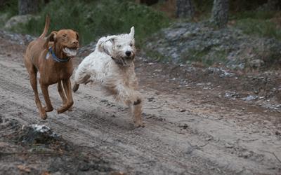 Vizsla karakter: wat voor hond is het precies?
