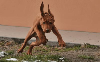 Vizsla langhaar: maak kennis met deze hond