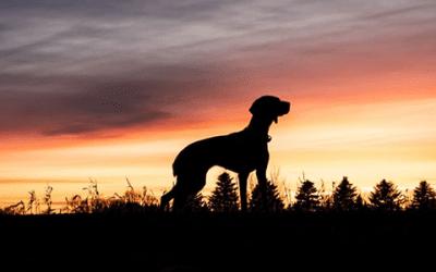 Vizsla korthaar: ontdek deze geweldige honden