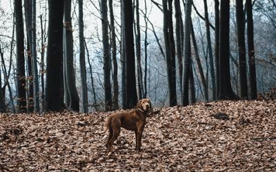 Een Vizsla puppy kopen: zo doe je dat
